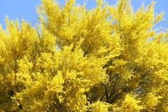 Genialny jaskrawy żółty kwitnący Palo Verde drzewo w pustyni Tucson Arizona Zdjęcia Stock