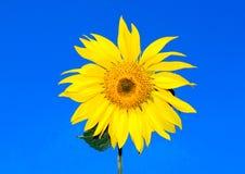 Genialny słonecznik Obraz Royalty Free