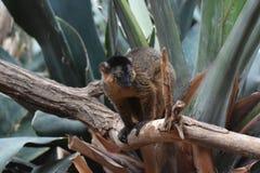 Genialny wizerunek Brown Kołnierzasty lemur Obraz Royalty Free