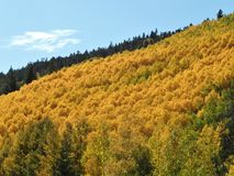 Genialny zbocze Osikowi drzewa pokazuje ich spadek pełno barwi zdjęcia stock