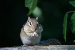 Genießen des Streifenhörnchens Lizenzfreies Stockfoto