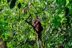 Genießen von kletternden Bäumen im Regenwald Stockfotografie