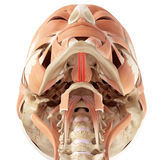 The geniohyoid Stock Images