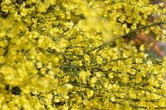 Genista bush blossoms. Fullframe. springtime Stock Photo