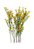 Genista Hispanica Flowers on White Royalty Free Stock Image