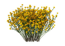 Genista Hispanica Flowers on White Royalty Free Stock Photos