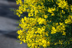 Genista hispanica Royalty Free Stock Images