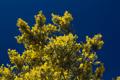 Genista microphylla Stock Images