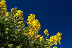 Genista microphylla Royalty Free Stock Images
