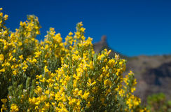 Genista microphylla Stock Photography