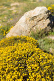 Genista shrub Royalty Free Stock Photos