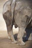 Genitais do rinoceronte Fotos de Stock Royalty Free