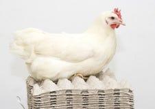Genitore bianco del pollo sul pacchetto vuoto dell'uovo Immagini Stock