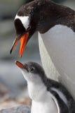 Genitore del pinguino di Gentoo circa per alimentare i giovani Immagini Stock