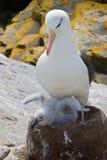 Genitore dell'albatro con il pulcino Fotografia Stock