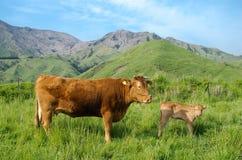 Genitore e bambino della mucca fotografia stock libera da diritti