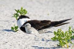 Genitore e pulcino neri della scrematrice in nido fotografia stock libera da diritti