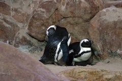 Genitori del pinguino Fotografie Stock