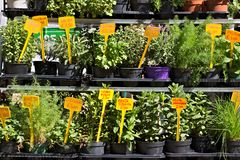 Genoa, Aromatic herbs in pots stock image