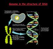 Genoma en la estructura de la DNA secuencia del genoma El Telomere es una secuencia de repetición de DNA doble-trenzada situada e Foto de archivo libre de regalías