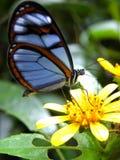 Genomskinlig fjäril för Oleria aestreaburchelli Fotografering för Bildbyråer