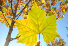 Genomskinlig leaf under solljus Arkivbilder