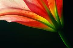 genomskinlig lilja Arkivfoto
