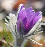 genomskinlig pasqueflower Fotografering för Bildbyråer