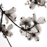 genomskinliga blommapetals Arkivbilder