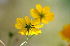Genomskinligt i solljus av kosmos blomma eller den mexicanska asterblomman Fotografering för Bildbyråer