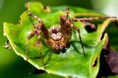 Genomsnittlig jätteträdgård Wolf Spider på ett blad Arkivfoton