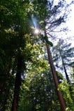 Genomträngande träd för sol som den är att vippa på bland royaltyfri bild