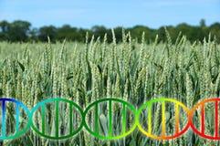 Genomu edytorstwo lub inżynierii genetycznej dna helix nad pszeniczną śródpolną uprawą obrazy stock