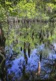 Genoux d'arbres et réflexions - ressorts de lamantin Photos stock