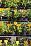 Genova, erbe aromatiche in vasi immagini stock libere da diritti