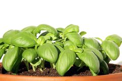 Genovese basil can also be grown in a decorative pot Stock Photography