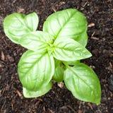 Genovese Basil Seedling Growing i en organiska Gard arkivfoto