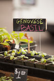 Genovese Basil Stock Photography