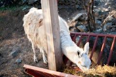 Genre de lama photographie stock libre de droits