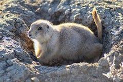 Genre ludovicianus de chien de prairie de Cynomys à queue noire dans le rongeur creusant sauvage et herbivore, dans l'ecosyst de  photo libre de droits