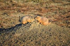 Genre ludovicianus de chien de prairie de Cynomys à queue noire dans le rongeur creusant sauvage et herbivore, dans l'ecosyst de  image stock