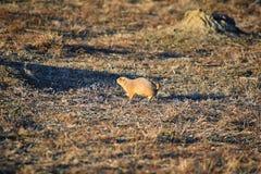Genre ludovicianus de chien de prairie de Cynomys à queue noire dans le rongeur creusant sauvage et herbivore, dans l'ecosyst de  photos stock