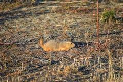 Genre ludovicianus de chien de prairie de Cynomys à queue noire dans le rongeur creusant sauvage et herbivore, dans l'ecosyst de  photo stock