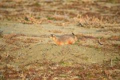 Genre ludovicianus de chien de prairie de Cynomys à queue noire dans le rongeur creusant sauvage et herbivore, dans l'ecosyst de  images libres de droits