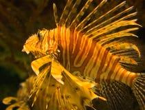 Genre Pterois de Lionfish Photographie stock