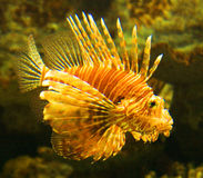 Genre Pterois de Lionfish Image libre de droits