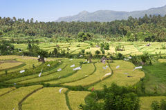 Genre sur des terrasses de riz, Bali, Indonésie Photographie stock