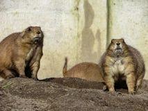 Genre vigilant Cynomys de chiens de prairie près des trous de leurs nids Image stock