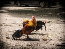 Gens de poulet en Thaïlande rurale Photographie stock