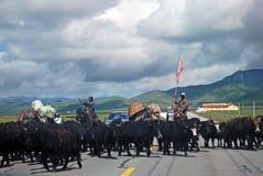 Gens tibétains avec des yaks Photo libre de droits